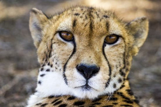 Youre Not The Only One - Cheetahs can be so shy that zoos give them emotional support dogs